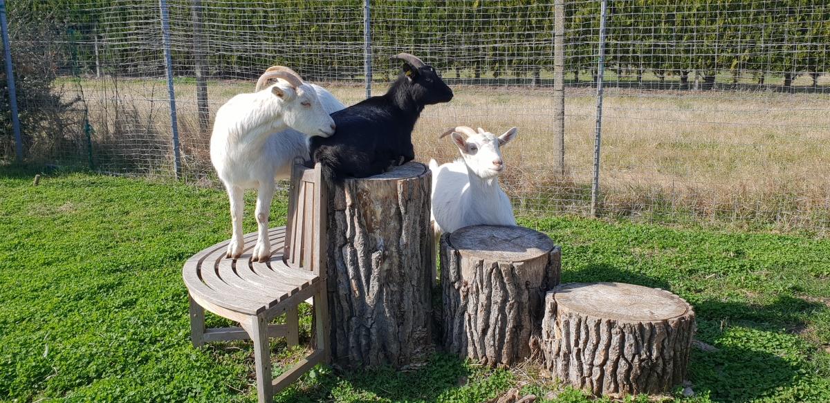 drei Ziegen