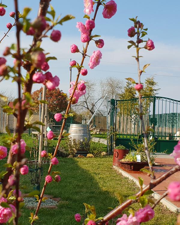 Kirschblüte im Frühling am Caprahof