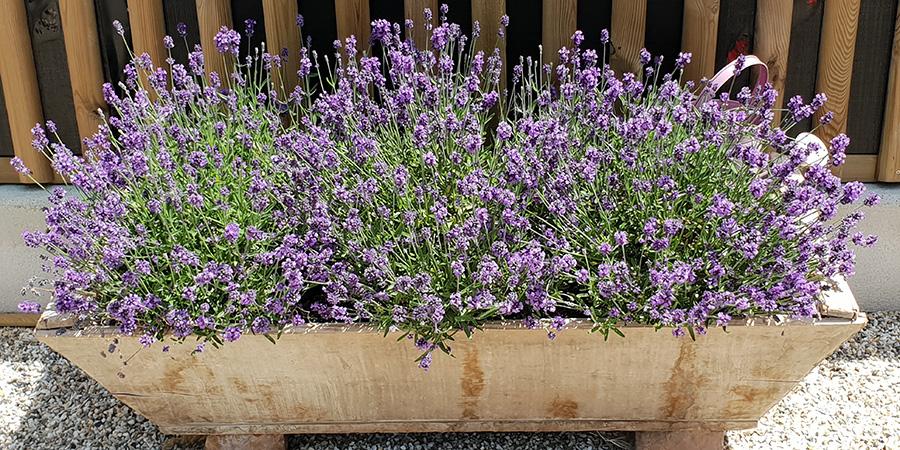 Lavendeltrog am Caprahof
