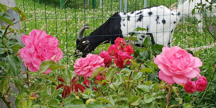 Gefleckte Ziege und rosa Rosen am Caprahof