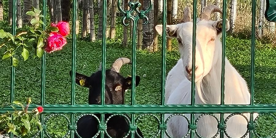 Schwarze und weiße Ziege am Caprahof