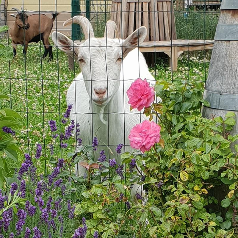 Weiße Ziege mit Rosen am Caprahof
