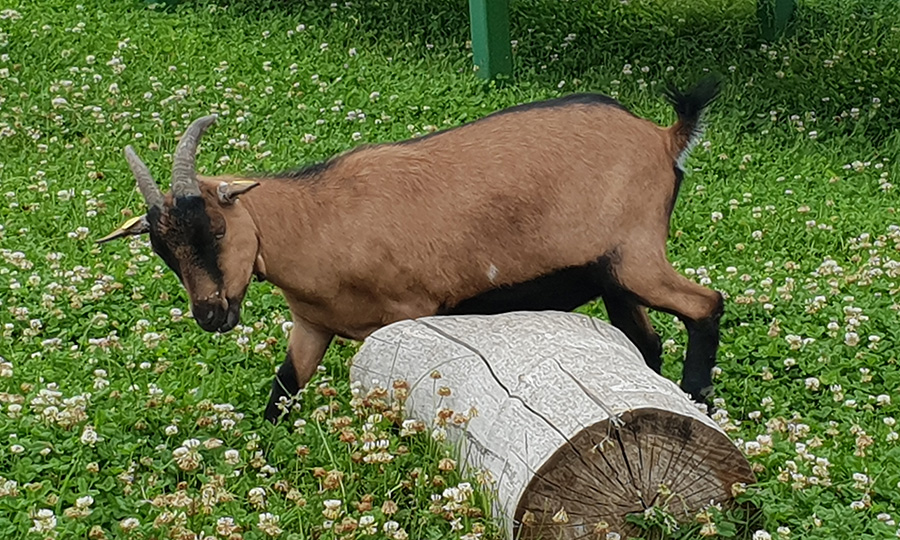 Braune Ziege am Caprahof