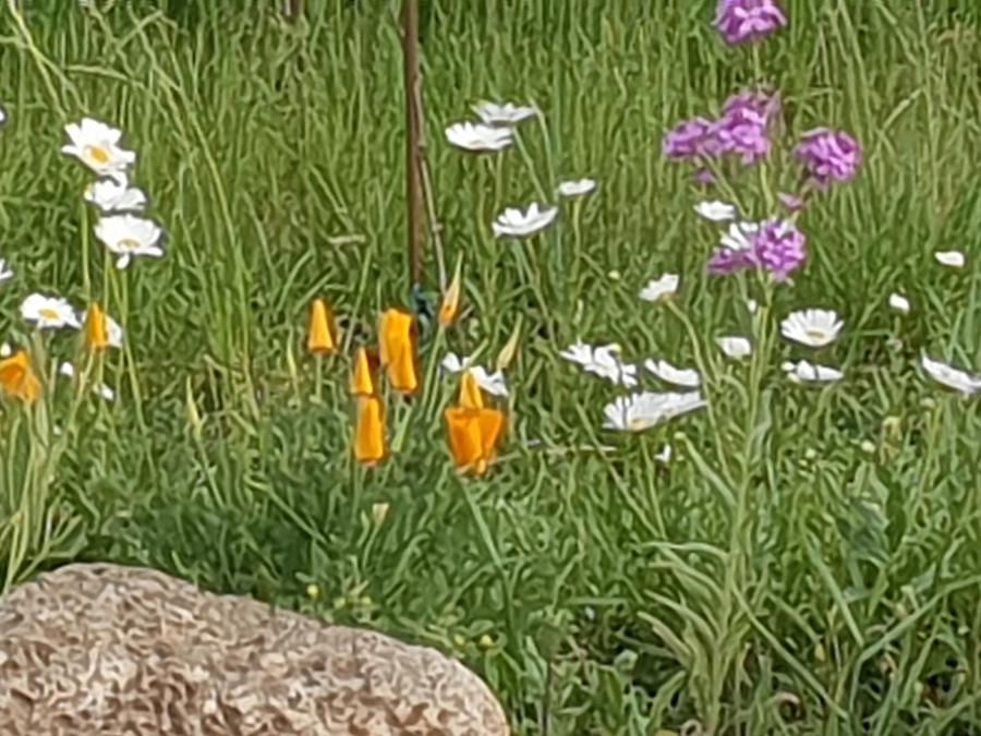 Wiesenblumen am Caprahof